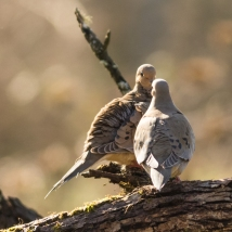 Two mourning doves meeting for the first time. Leads to a failed courtship. We can't all succeed the first time.
