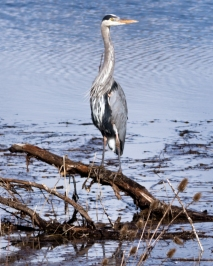 Great Blue Herons, pretty much always looking majestic.