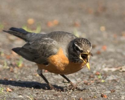 Robin choking down a worm. Yuk!
