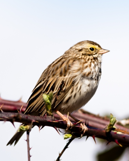 Early Savannah Sparrow. If I recall correctly, you can almost always find them on Retennar Rd. on Sauvie Island year round.