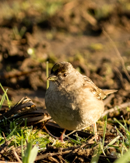 Plump lil fellow. Golden Crowned Sparrow soaking up some early morning rays.