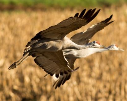Cranes in flight in unison.