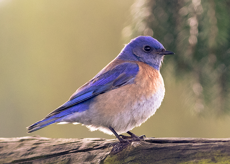 A - Bluebird - 5x7