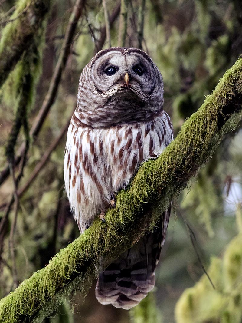 A - Owl - 12x16