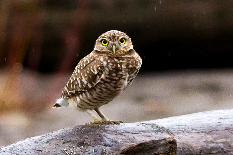 A - Owl - 4x6